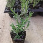 butasi lavanda angustifolia blue sccent