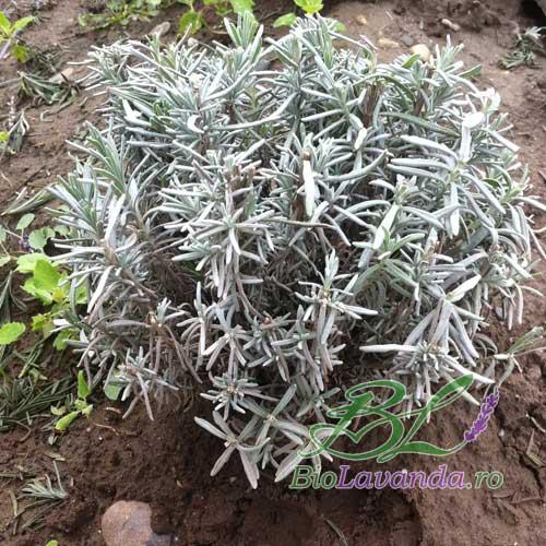 cultivarea lavandei
