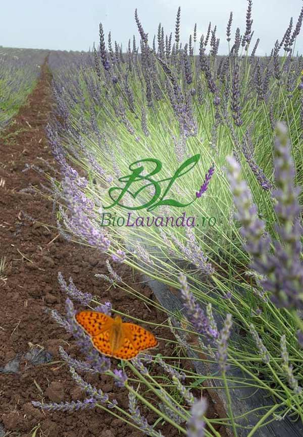 plantatie lavanda romania