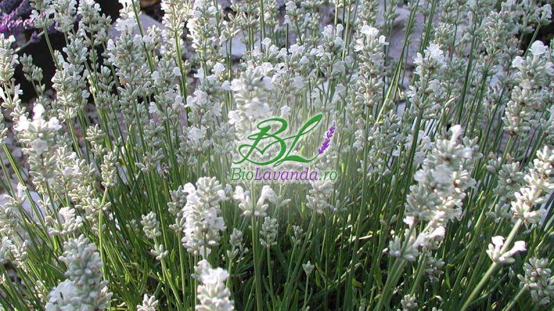 Vanzare butasi lavandula angustifolia Blue Mountain White
